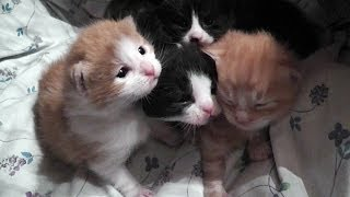 Adorable 2 Week Old Kittens Mewing For Mummy