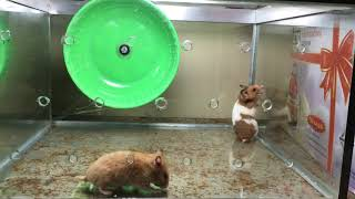 Funny hamsters in wheel videos – Funny animals compilation 2019