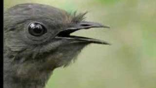Amazing! Bird Sounds From The Lyre Bird – David Attenborough  – BBC Wildlife