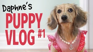 Ep #7: it's a Daphne Day! – Cute Dachshund Puppy Vlog