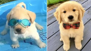 Funniest & Cutest Golden Retriever Puppies #37 – Funny Puppy Videos 2019
