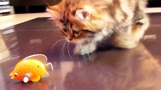 Funny Cats playing with  Nice Fish
