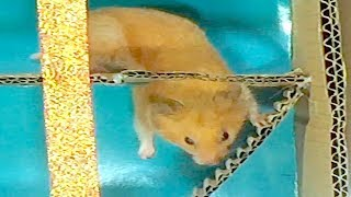Highest Level Maze For My Cute Hamsters HamHam Running _ Who will be the winner?