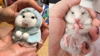 Funny and Cute Hamster Compilation 🐭 – Cutest Hamster In The World | Cute VN