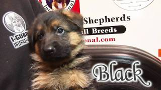 German Shepherd Puppies and kids playing