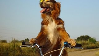 Funny dogs on bicycle – Compilation
