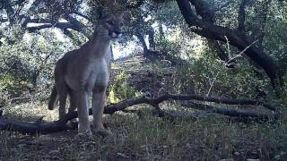 Mountain Lion Mama And Her Kittens Return!