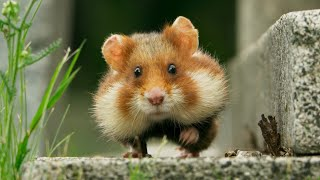 Wild Hamster Has A Graveyard Feast | Seven Worlds, One Planet | BBC Earth