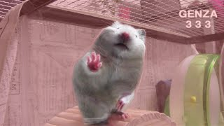 Funny Tiny:Hamsters:Hamsters solidified