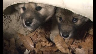Puppy Siblings Stuck Inside A Drainage Pipe Keep Each Other Alive | Animal in Crisis EP84