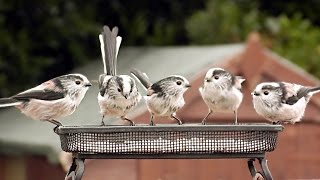 Long-tailed Tits in The Garden – Cutest Birds Ever