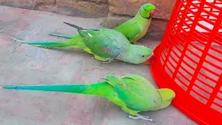 Parrots Outside The Cage And Talking