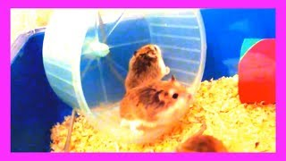 Funny My Hamsters in wheel Videos – Funny Moments Compilation 2019