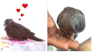 Laughing or mourning dove bird baby, Feeding video and cute tweet sound
