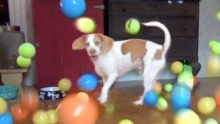 Dog Surprised with 100 Balls for Birthday: Cute Dog Maymo