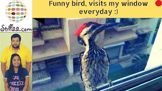 FUNNY BIRD | Comes to visit me everyday | TRY NOT TO LAUGH | Awww Moments