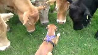 BOXER PUPPY GREETED BY HERD OF COWS ON WALK! AMAZING TO SEE