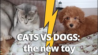 Cats Vs Dogs: The New Toy   CUTE CAT CLEO