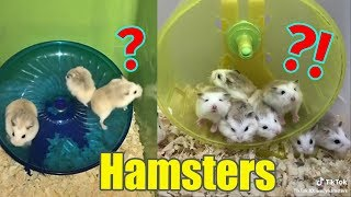 Funny Hamsters And Cute Hamsters Spinning In Wheel  | POP Pets 🐹