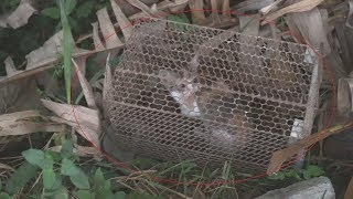 Rescue abandoned kitten in mouse traps…Rescue the pitiful kittens trapped in the vegetable garden