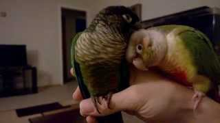 Cute Birds Cuddling (Green Cheek Conure Parrots)