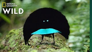 Rare Footage of New Bird of Paradise Species Shows Odd Courtship Dance | Nat Geo Wild