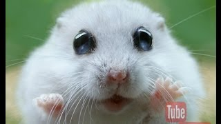 Cute Hamsters – Cute Hamsters Doing Funny Things [ MOST WATCH !! ]