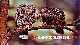 💓 A LOVE BIRD STORY 💓 CUTE OWLS KISSING LOVE STORY | SAD | HEARTWARMING