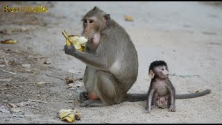 Dita Eats banana and her Son Rides her On The Shoulder_ Beauty and Cute Baby Monkey