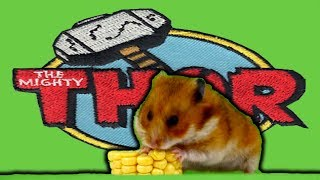 Hamster Thor mısır yiyor | Funny Hamsters Videos Compilation | Cute and Funny moments of the animals