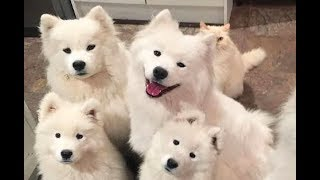 Cute Samoyed Dogs Video. Funny Samoyed dogs and puppies.