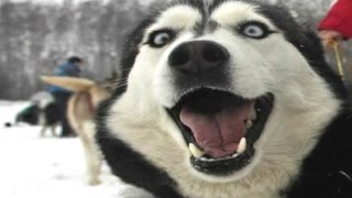 Husky Dogs And Puppies – A Funny Videos And Cute Videos Compilation 2016