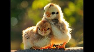 Funny Birds Videos Compilation cute moment of the animals – Cute Birds #4
