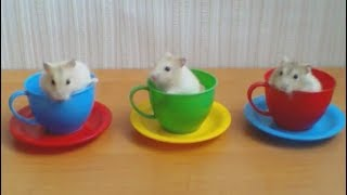 3 little hamsters in the cups! Funny and amazing!