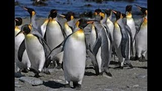 Penguins Walking Around in Natural Habitat – Penguins in the Wild Marching Video HD