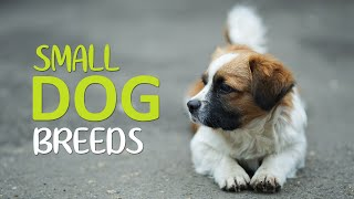Top 10 Cutest Small Dog Breeds – Apartments Dogs