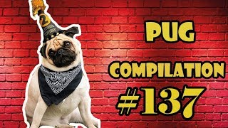 NEW ! Pug Compilation 138 – Funny Dogs but only Pug Videos | Instapug
