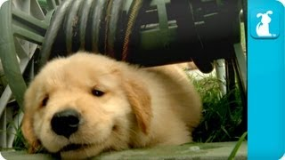 Puppy Love – Golden Retriever Puppies