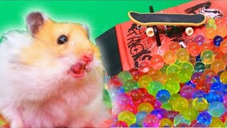 Funny hamsters hit the pool with an orbeez! Two Syrian hamsters!