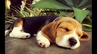 Funny And Cute Beagle Puppies Compilation #3 – Cutest Beagle Puppy