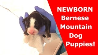 NEWBORN BERNESE MOUNTAIN DOG PUPPIES | Hours Old | Bernese Of The Rockies
