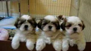 3 Adorable Shih Tzu Puppies