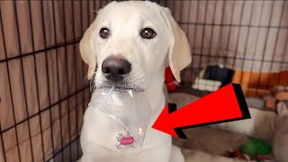 PUPPY LOSES HER FIRST TOOTH | TOOTH FAIRY VISITS!