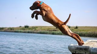 Funny  Vizsla Dogs Moments #1 – Cute Dog Video Compilation