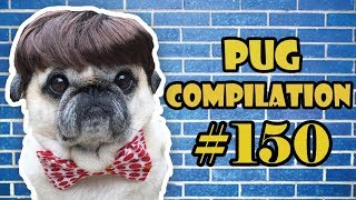 Funny Dogs but only Pug Videos | Pug Compilation 150 – InstaPug