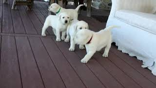 Yellow Lab Puppies For Sale Sam Stoltzfus
