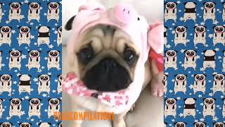 Funny Dogs but only Pug Videos | Pug Compilation 146 – InstaPug