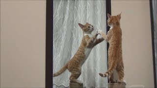 Kitten vs Mirror !! The duel with no winners !