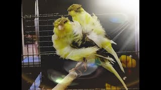 Canary birds unlimited singing cute birds voice
