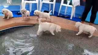 Eight English Cream Golden Retriever Puppies – first swim & jump!